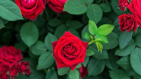 Hoe rozen correct aanplanten?